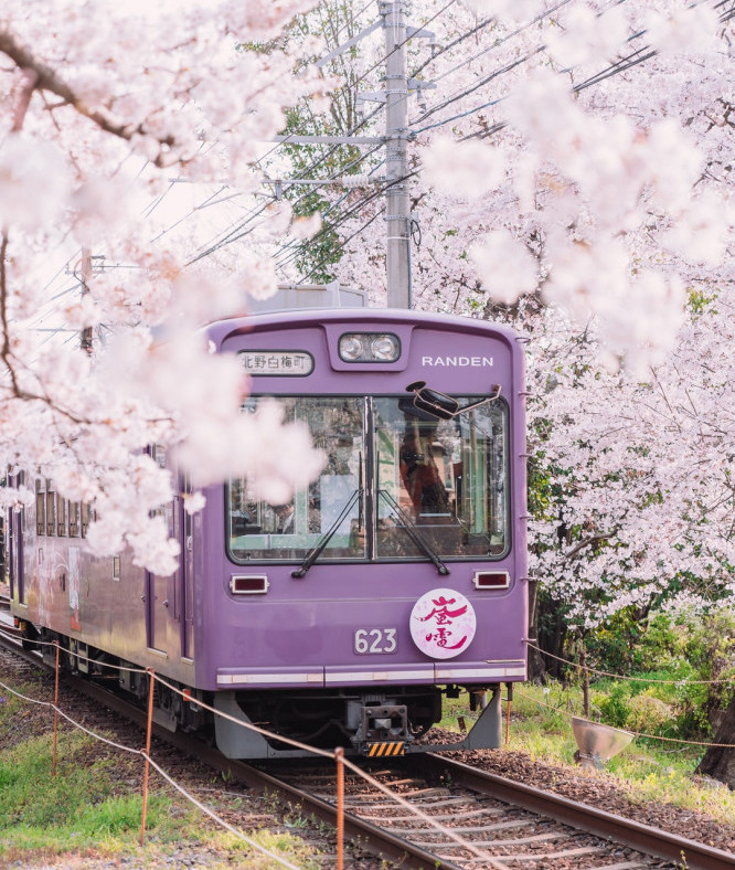 Purple suburban train driving through cherry blossoms in Japan