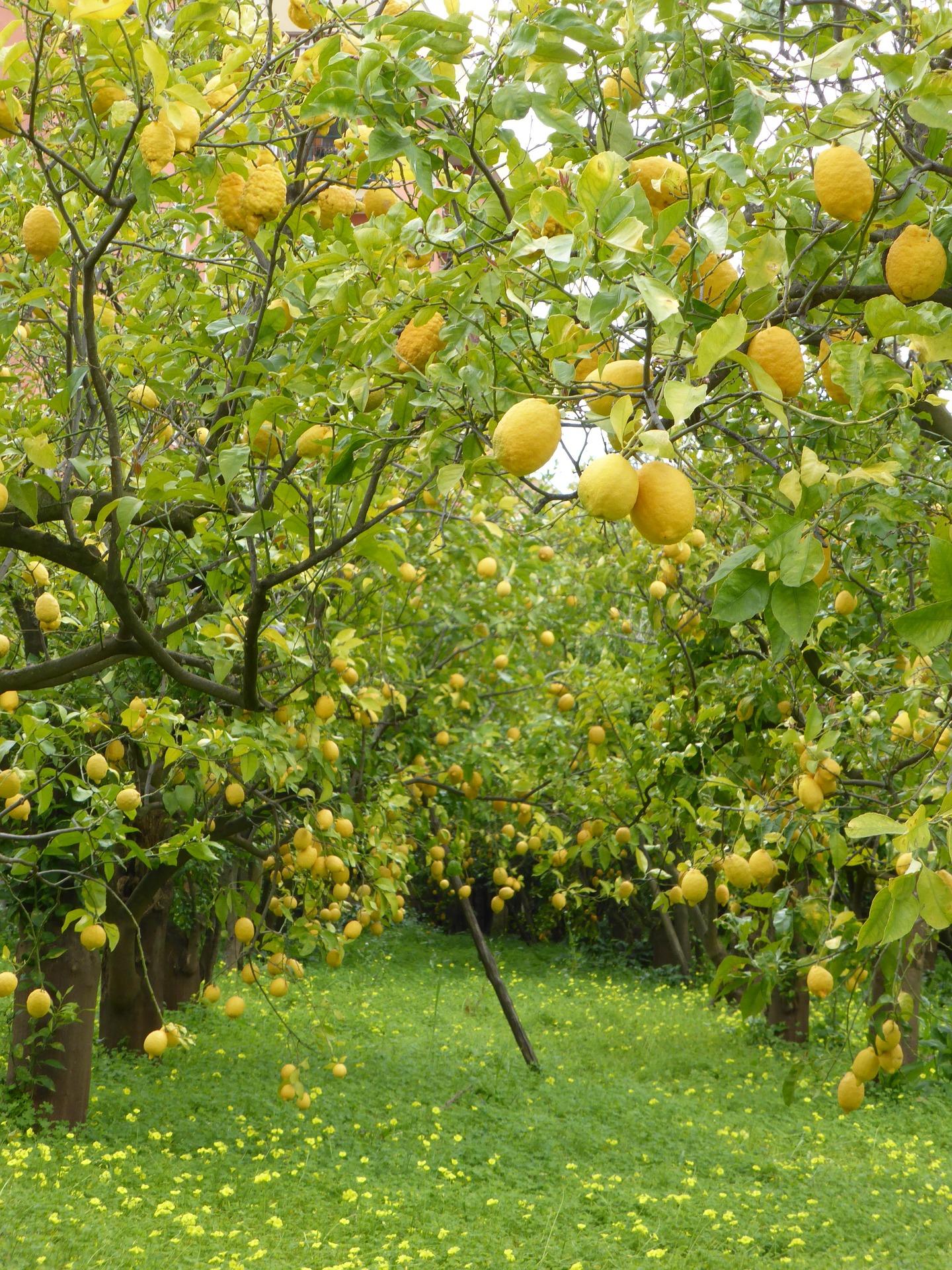 Lemon trees in Sorrento Italy